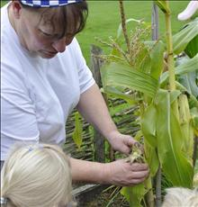 Checking to see if the sweetcorn is ready to pick